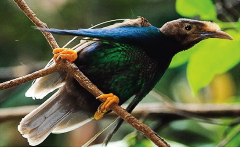 Perjuangan Berat Melihat Burung Bidadari Langka Khas Malut