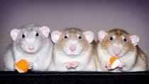 Potret Tikus yang Tampil Imut dan Menggemaskan