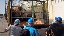 Larangan Ekspor Ternak Australia ke Indonesia 2011 Dinilai Irasional