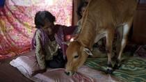 Nenek Ini Pelihara Sapi yang Dipercaya Reinkarnasi dari Sang Suami
