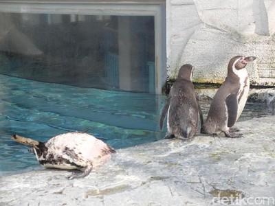 Tingkah Lucu Penguin & Cerita Lolongan Serigala di Jepang