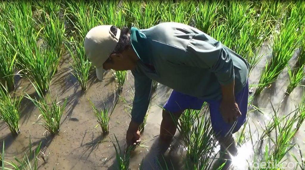 Ini Tanggapan Dinas Pertanian Probolinggo Soal Hama Wereng