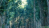 Video: Hutan Mirip Fangorn di Lord of The Rings di Banyuwangi