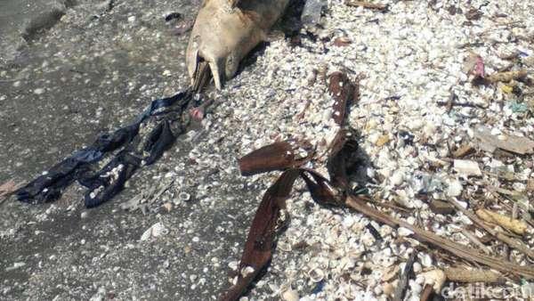 Bau Amis, Lumba-lumba Mati di Pesisir Cumpat Dibawa ke Tengah Laut