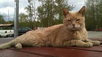Kisah Seekor Kucing yang Jadi Wali Kota Kehormatan di Alaska