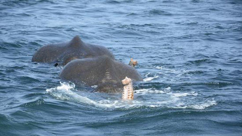 Foto: Penyelamatan 2 Ekor Gajah yang Hanyut ke Laut Sri Lanka