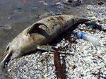 Kasihan, Seekor Lumba-lumba Ditemukan Mati di Pesisir Cumpat