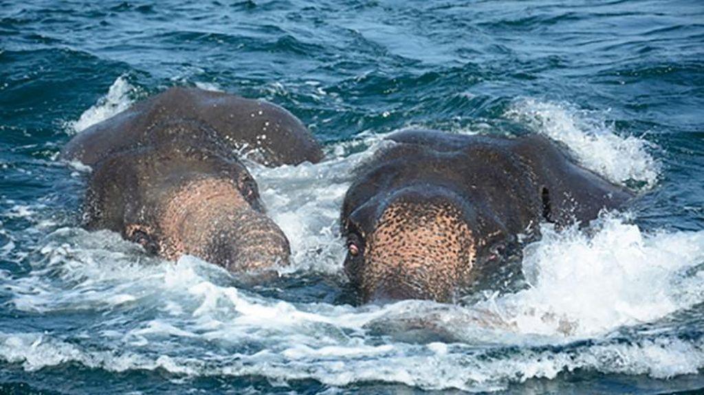 Hanyut ke Laut, 2 Ekor Gajah Diselamatkan Militer Sri Lanka