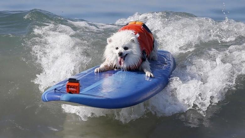 Foto: Ketika Anjing Main Surfing, Lucu Banget..