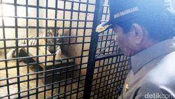 Bayi Harimau Benggala yang Lahir di Banjarnegara Diberi Nama Lusi