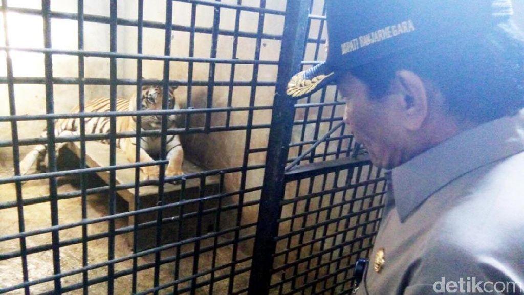 Anak Harimau Benggala di Banjarnegara Bernama Lusi