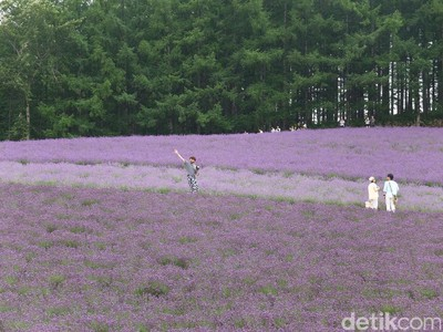Foto: Ada Kebun Lavender Secantik Ini di Jepang