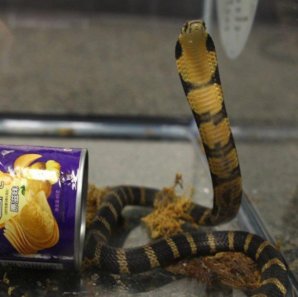 Hiii, Ada 3 Ular Kobra di Kaleng Keripik Kentang Ini