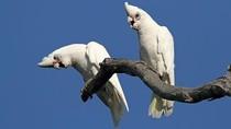 Burung Kakatua Corella Bermain Komidi Putar di Turbin Ventilasi Udara