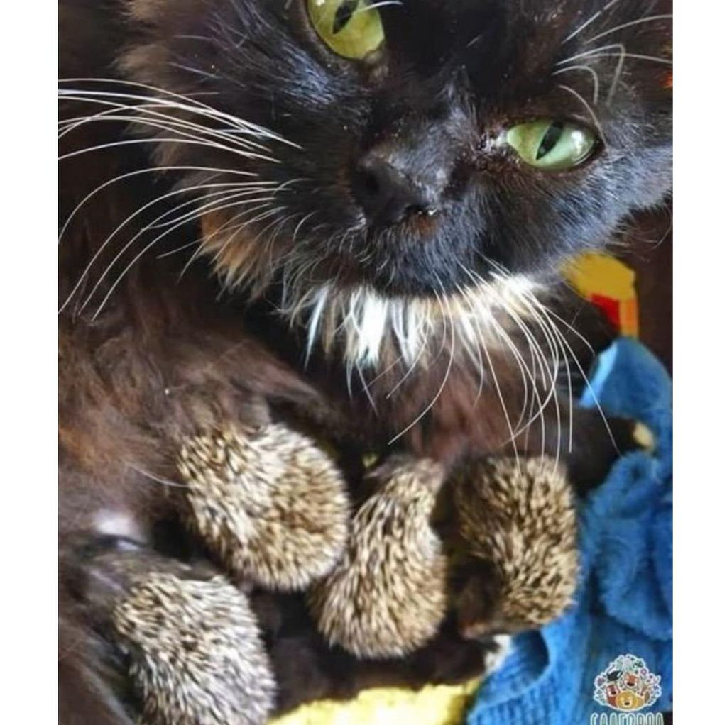 Di Rusia, Seekor Kucing Asuh 8 Anak-anak Landak