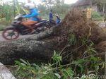 Pohon Tumbang di Sleman Tewaskan Satu Orang Pemotor