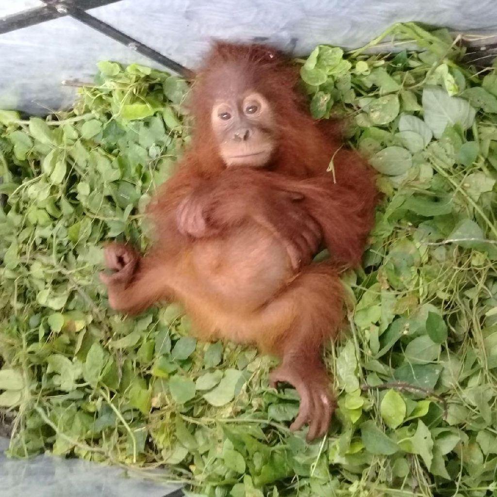 Ini Data Terbaru Populasi Orangutan di Pulau Sumatera dan Borneo