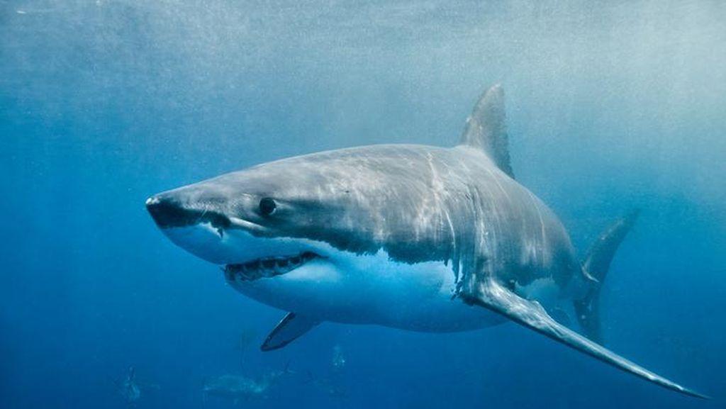 Ini Alasan Ilmiah Kenapa Ikan Hiu Sebaiknya Tak Dikonsumsi