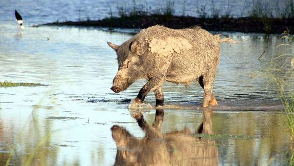 Babi Liar Dikhawatirkan Sebarkan Bakteri Pemicu Infertilitas di Australia