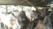 Jelang Idul Adha, Peternakan di Situbondo Genjot Penggemukan Hewan