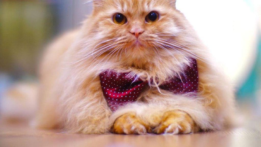 Foto : Kucing-kucing Lucu di The Museum Cat