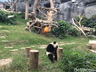 Bikin Gemas! Ini Lucunya Panda di Makau