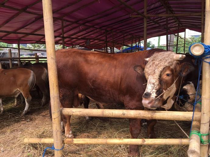 Sapi-sapi Super Montok untuk Idul Adha