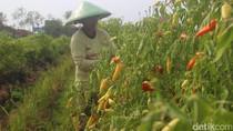 Harga Cabai di Petani Brebes Anjlok hingga Rp 4.000 per Kg