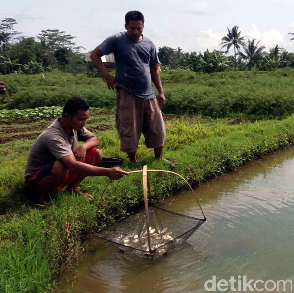 Musim Kemarau, Peternak Ikan di Banjarnegara Diimbau Waspada