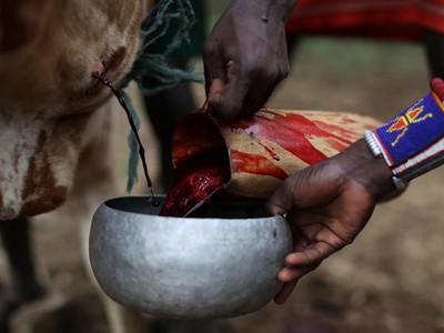 Foto: Minum Darah Banteng yang Ngeri