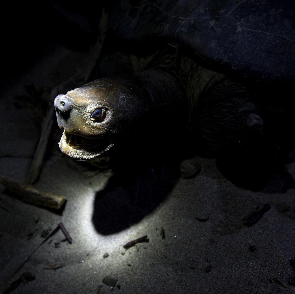 Mencari Tuntong Laut Aceh, Salah Satu Reptil Terlangka di Dunia