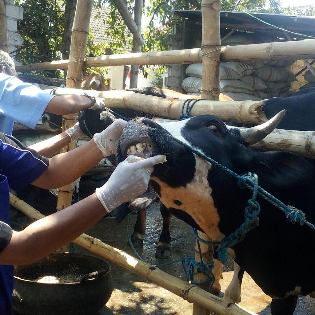 Hewan Kurban di Mojokerto Diperiksa, Banyak yang Belum Cukup Umur