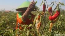 Kekurangan Air Irigasi, Tanaman Sayur di Brebes Dibiarkan Mengering