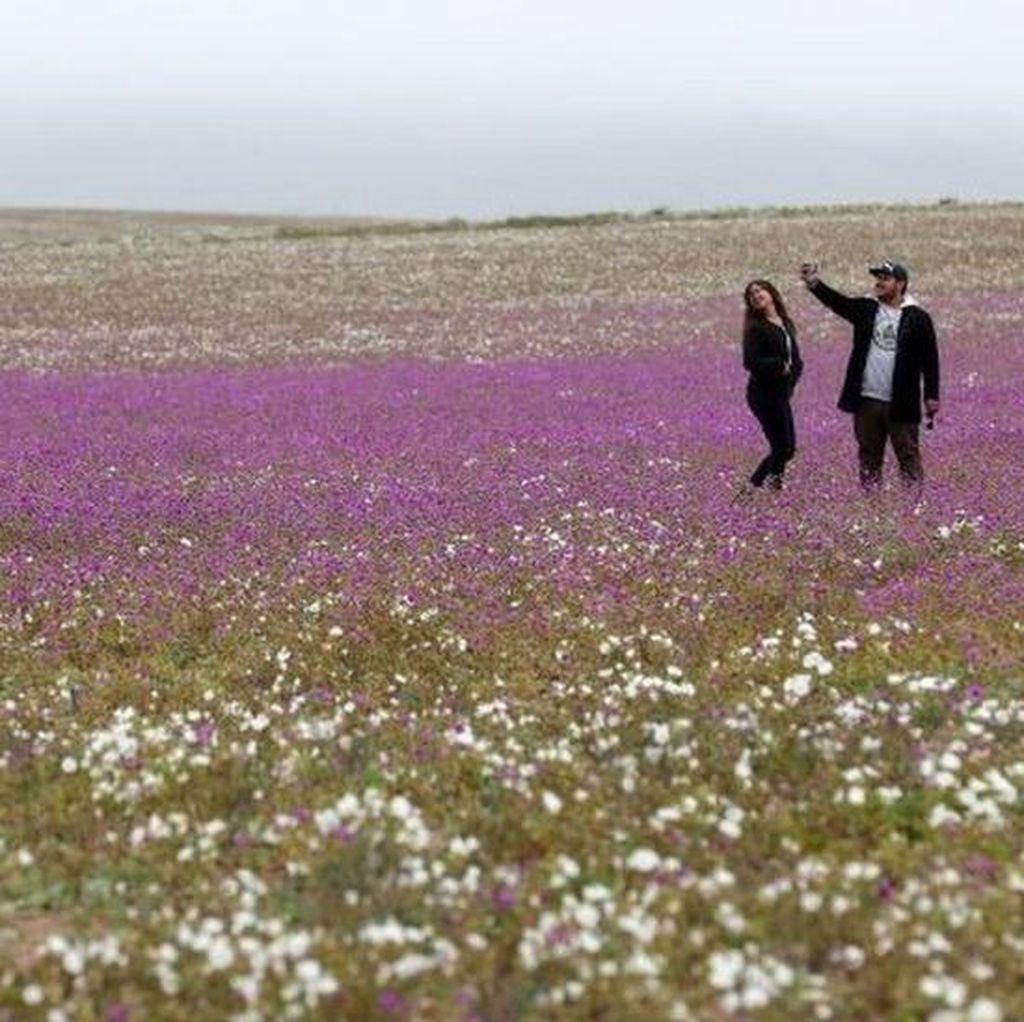 Ketika Bunga Bermekaran di Tempat Paling Kering di Dunia