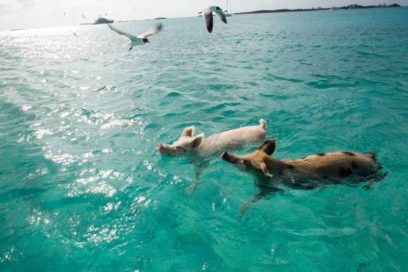 Pemandangan tak biasa ini dapat dilihat di salah satu pulau di Bahama, yaitu Bog Major Cay (Travel Bahamas/ Facebook)