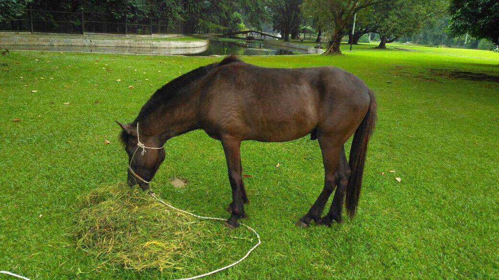 Mengenal Kuda Sandalwood Sumba yang Jadi Kado Jokowi