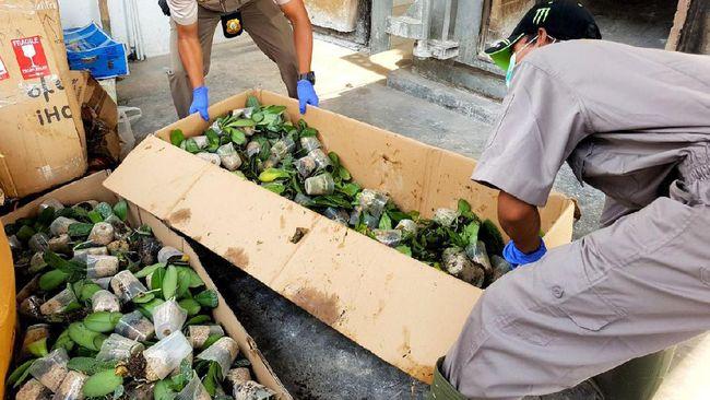 BBKP Ada Bakteri, Anggrek Impor dari Filipina Dimusnahkan Kementan