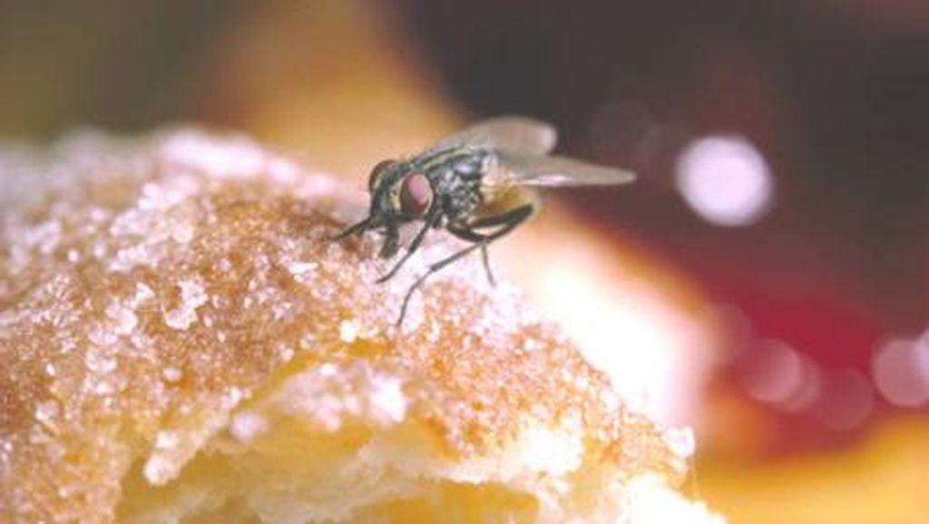 Apa Benar Lalat yang Hinggap pada Makanan Sebarkan Penyakit?