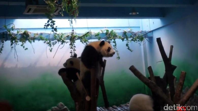 Diary detikTravel menengok panda-panda di China (dok 20Detik)