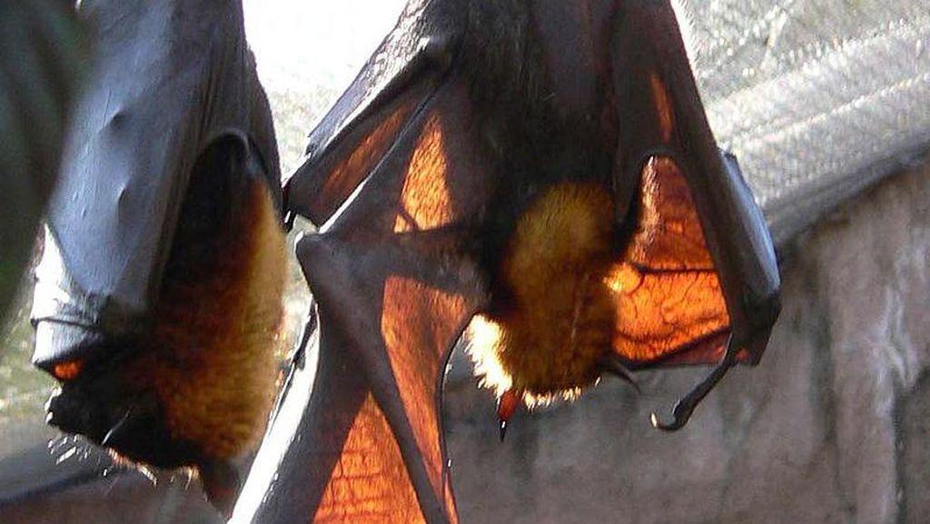 Ini Dia Tujuan Penelitian Kelelawar Vampir Raksasa di Aceh Besar
