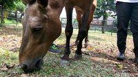 Kuda Chester merumput dengan nyaman /