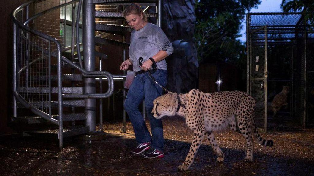 Foto: Satwa di Kebun Binatang Amerika Mengungsi Karena Badai Irma