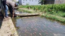 Video Selokan Kumuh di Karanganyar Jadi Lokasi Budidaya Ikan