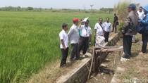 Tak Dapat Pasokan Air, Puluhan Hektar Tanaman Padi Gagal Panen