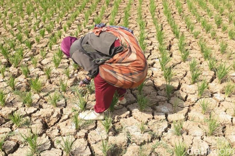 139 Hektare Lahan Pertanian di Jabar Gagal Panen