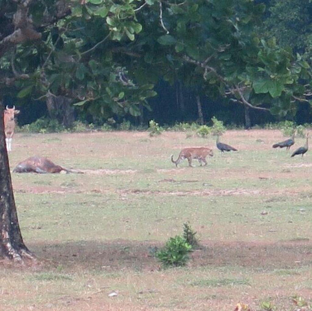 WWF Indonesia Yakini Kucing Besar di Ujung Kulon Bukan Harimau Jawa