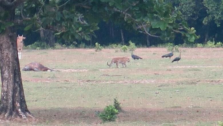Foto Diduga Harimau Jawa, LIPI: Perlu Pembuktian Lebih Lanjut