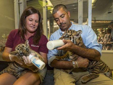 Dua bayi harimau beda subspesies dipertemukan di kebun binatang San Diego, Amerika Serikat. Pertemuan itu membuat pengunjung kebun binatang gemas. Seperti apa ya tingkah laku mereka?