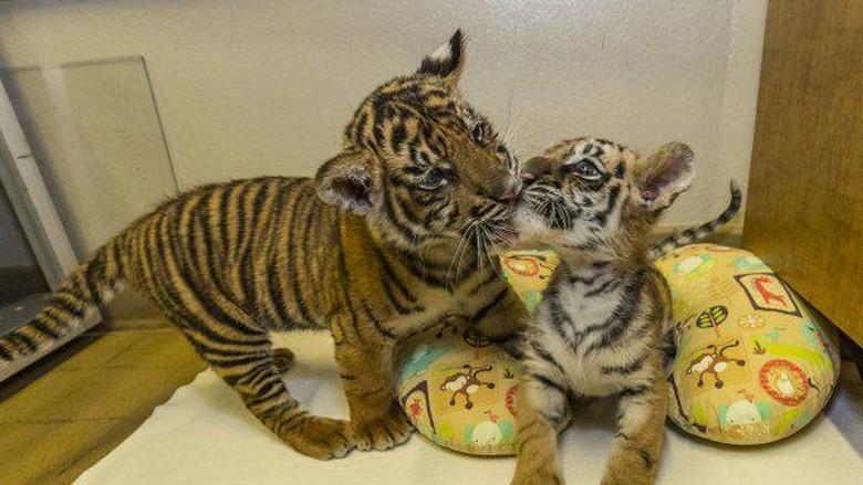 Gemasnya Saat Bayi Harimau Sumatera dan Benggala Berjumpa