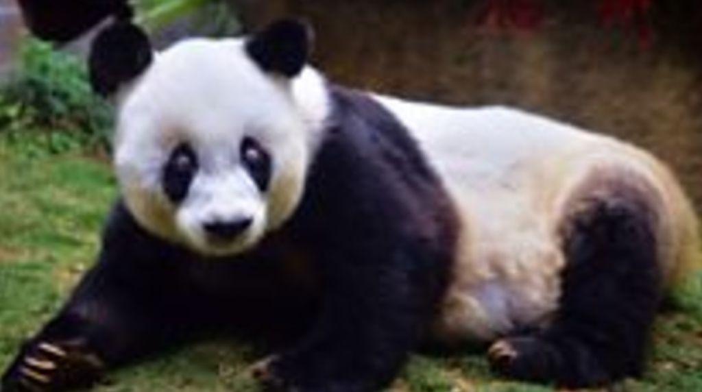 Bye Bye Basi, Panda Tertua di Dunia Ini Meninggal di Usia 37 Tahun